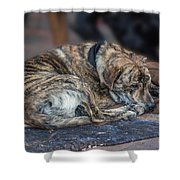 Tiger Dog And The Buskers Shower Curtain