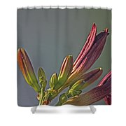 Tiger Lilly Buds 2 7172017  Shower Curtain