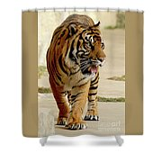 Tiger Pacing Shower Curtain