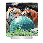 Tigers Playing Shower Curtain