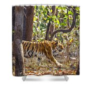 Tigress Walking Through Sal Forest In Pench Tiger Reserve  India Shower Curtain