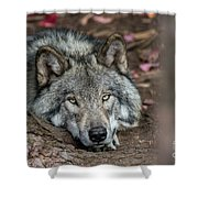 Timber Wolf Picture - Tw286 Shower Curtain