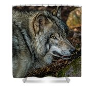 Timber Wolf Picture - Tw417 Shower Curtain