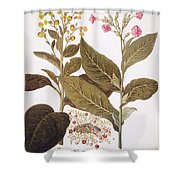 Tobacco Rustica, 1613 Shower Curtain