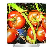 Tomatoes Hanging Like Grapes From Vines Go1 3711a3 Shower Curtain