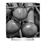 Tomatoes On The Vine Bw Shower Curtain