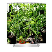 Tomatoes On The Vine Shower Curtain