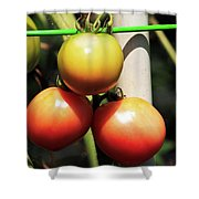 Tomatoes Ripening On The Vine Shower Curtain