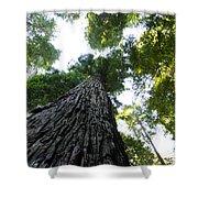 Towering California Redwood Trees Shower Curtain