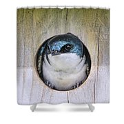 Tree Swallow In Nest Box Shower Curtain