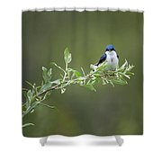 Tree Swallow Male Shower Curtain