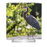 Tri-colored Heron Fledgling  Shower Curtain