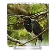 Tricolored At Rest  Shower Curtain