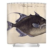 Trigger-fish, 1585 Shower Curtain