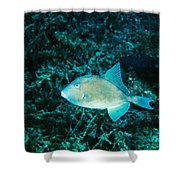 Triggerfish Swimming Over Coral Reef Shower Curtain