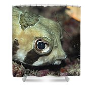Tropical Fish Porcupinefish  Shower Curtain
