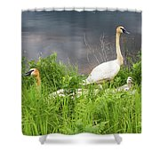 Trumpeter Swan Family - Portrait Shower Curtain