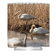 Trumpeter Swan Morning Shower Curtain