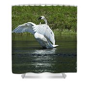 Trumpeter Swan On The Madison River Shower Curtain