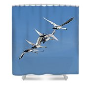 Trumpeter Swans Flying Shower Curtain