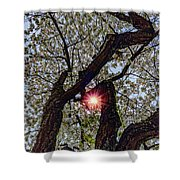 Trunk Of A Cherry Tree Blooming With White Flowers Shower Curtain