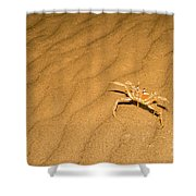 tufted ghost crab Ocypode cursor on sand Shower Curtain
