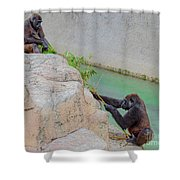 Tug-o-war Western Gorillas Shower Curtain