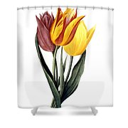 Tulip (tulipa Gesneriana) Shower Curtain