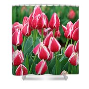 Tulips - Candy Apple Delight 02 Shower Curtain