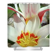 Tulips Flowers Artwork 1 Tulip Flower Art Prints Spring Floral Art White Tulips Garden Shower Curtain
