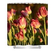 Tulips In Public Garden Shower Curtain