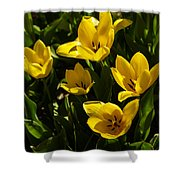 Tulips In Sping Shower Curtain