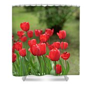 Tulips In Spring 3 Shower Curtain