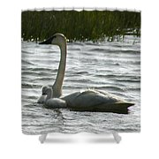 Tundra Swan And Signets Shower Curtain