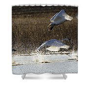 Tundra Swans Take Off 2 Shower Curtain