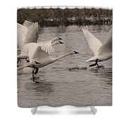 Tundra Swans Take Off Shower Curtain