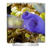 Tunicates Didemnum Molle, Also Known Shower Curtain