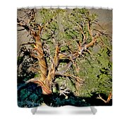 Twisted Bristlecone Shower Curtain