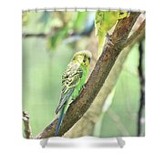 Two Adorable Budgie Parakeets Living In Nature Shower Curtain