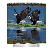 Two American Bald Eagle Touching Down At Low Tide Shower Curtain