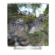 Two Baby Morning Dove's Shower Curtain