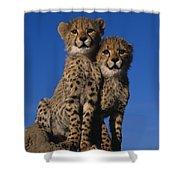 Two Cheetah Cubs Shower Curtain