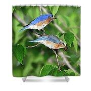 Two Eastern Bluebirds Shower Curtain