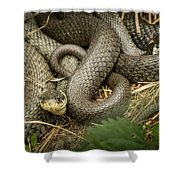 Two Intertwined Grass Snakes Lying In The Sun Shower Curtain