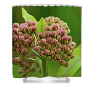 Two Milkweed Flowers Buds  Shower Curtain