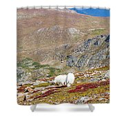 Two Mountain Goats On Mount Bierstadt In The Arapahoe National Fores Shower Curtain