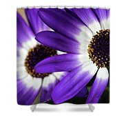 Two Purple N White Daisies Shower Curtain