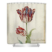 Two Red And White Tulips. Colombijn And Wit Van Poelenburg Shower Curtain
