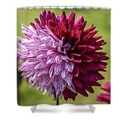 Two Sides Of Dahlia  Shower Curtain