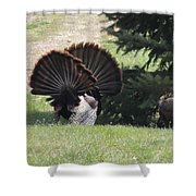 Two Tom Wild Turkeys Sparring To Impress A Hen Shower Curtain
